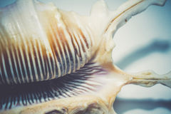 Duży Gwożdżący Seashell Fotografia Stock