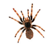 duży odosobniony pająk Obrazy Royalty Free