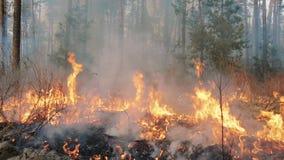 Duży pożar lasu i dymne chmury w sosnowych stojakach zbiory wideo
