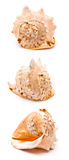 duży seashell Zdjęcie Royalty Free