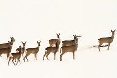 Duży stado roe deers Obrazy Stock