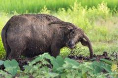 Duży wodny bizon Fotografia Stock