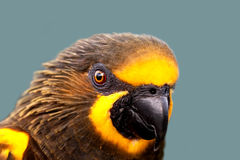 Duyvenbode's Lory Stock Photo
