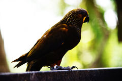 Duyvenbode`s lory bird. Stay on the metal cage,  on blurred and bokeh background Stock Image