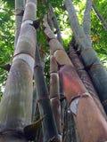 Duzi bagażnika bambusa drzewa Zdjęcie Royalty Free