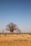 Duzi baobabów drzewa w pustyni Mapungubwe park narodowy, Południowa Afryka Obrazy Royalty Free