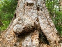 Duzi burls na Czerwonym Tingle drzewie przy Walpole-Nornalup parkiem narodowym, zdjęcie royalty free