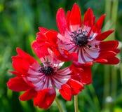 Duzi czerwoni poppys kwiaty składu projekta elementu natury raj Zbliżenie duzi poppys kwiaty Zdjęcie Stock