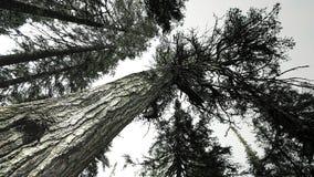 Duzi drzewa w Tayga Fotografia Royalty Free
