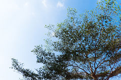 Duzi drzewa z niebem Obrazy Stock