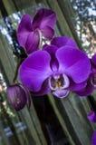 Duzi fiołkowi kwiaty Phalaenopsis fotografia stock