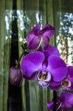 Duzi fiołkowi kwiaty Phalaenopsis zdjęcia royalty free