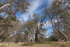 Duzi gumowi drzewa, eukaliptus, przy Naracoorte lasem podczas jesieni se Zdjęcia Stock