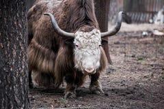 Duzi kędzierzawi yak przy zoo Zdjęcie Royalty Free
