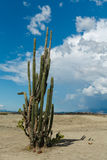 Duzi kaktusy w czerwieni pustyni, tatacoa pustynia, Colombia, łaciński Amer Fotografia Royalty Free