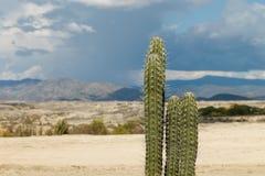 Duzi kaktusy w czerwieni pustyni, tatacoa pustynia, Colombia, łaciński Amer Zdjęcie Stock