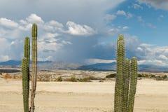 Duzi kaktusy w czerwieni pustyni, tatacoa pustynia, Colombia, łaciński Amer Obraz Royalty Free