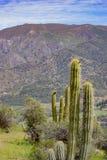 Duzi kaktusy w górach obrazy royalty free
