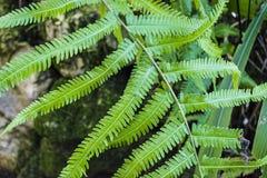 Duzi liście dzika paproć w ogródzie botanicznym charcica tropikalne lasowe rośliny Natura obraz stock