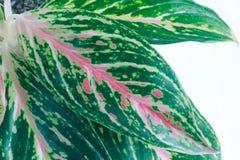 Duzi liście aglaonema na białym tle Zdjęcie Stock