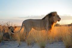 Duzi męscy Afrykańscy lwy Zdjęcia Stock