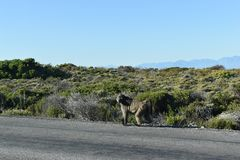 Duzi pawiany na poboczu na przylądka półwysepie Objeżdżają w Kapsztad, Południowa Afryka Zdjęcie Stock