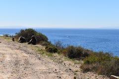 Duzi pawiany siedzi przy poboczem na przylądka półwysepie Objeżdżają w Kapsztad, Południowa Afryka Fotografia Stock