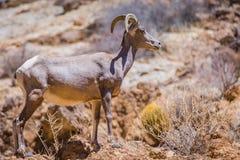 Duzi rogaci cakle w Sonoran pustyni Arizona obrazy stock