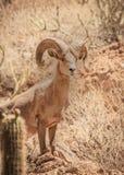 Duzi rogaci cakle w Sonoran pustyni Arizona obrazy royalty free