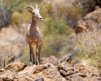 Duzi rogaci cakle w Sonoran pustyni Arizona obraz stock