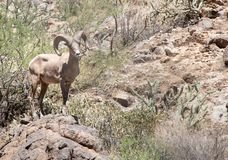 Duzi rogaci cakle w Sonoran pustyni Arizona fotografia royalty free