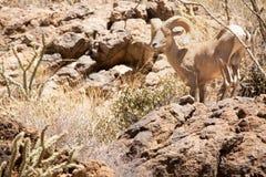 Duzi rogaci cakle w Sonoran pustyni Arizona zdjęcie royalty free