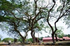 Duzi starzy drzewa Fotografia Royalty Free