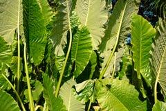 Duzi tropikalni zielonej rośliny liście Zdjęcie Stock