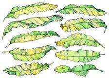 Duzi ustaleni egzotyczni tropikalni banana koloru żółtego i zieleni liście ilustracji