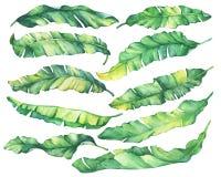Duzi ustaleni egzotyczni tropikalni banana koloru żółtego i zieleni liście ilustracja wektor