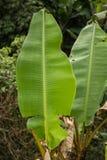 Duzi zieleni bananów liście zdjęcia stock
