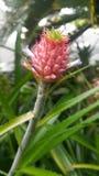 Dvärg- ananas arkivbild