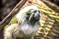 dvärg- apa Fotografering för Bildbyråer