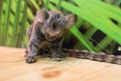 Dvärg- apa som spelar med gräs Arkivfoto