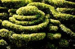 Dvärg- buskar, dekorativa modeller utomhus- i solljus Royaltyfri Fotografi