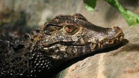 Dvärg- caiman arkivfoto