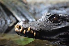 Dvärg- caiman Arkivbilder