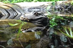 Dvärg- caiman Fotografering för Bildbyråer