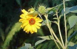 Dvärg eller Mini Sunflower i blom royaltyfri foto