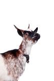 Dvärg- get på viten royaltyfria foton