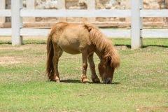 dvärg- häst Arkivbild