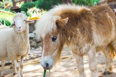 dvärg- häst Royaltyfria Foton