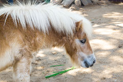 dvärg- häst Arkivbilder