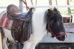 dvärg- häst Royaltyfri Bild